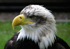 White and Black Eagle Royalty Free Stock Images