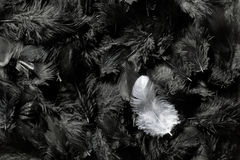 White and black feathers Royalty Free Stock Image