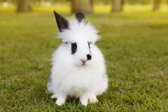 White and black fluffy baby rabbit on green grass in park Royalty Free Stock Photos