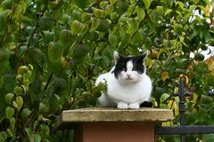 White and black fluffy cat sits on the fence stock photo
