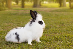 White and black fluffy small baby rabbit on green grass in park Stock Images