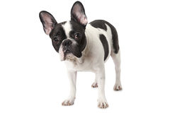 White and black French bulldog Stock Images
