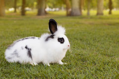 White and black funny fluffy small baby rabbit on green grass in Royalty Free Stock Image