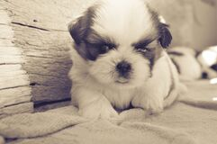 White and Black Fur Puppy on Gray Blanket stock image