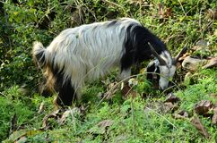 White and Black Goat In Pathways Agricultural Fieids In Rural Indian Villages