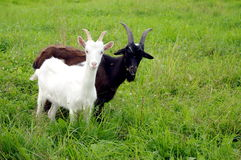 White and black goats Stock Photo