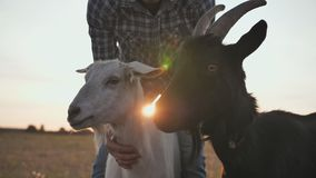 White and black goats with their master. stock video