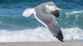 White Black and Gray Seagulls Flying Royalty Free Stock Photo