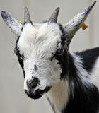 White and Black Hair Goat Stock Images
