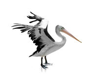 White - black Heron isolated Royalty Free Stock Photos