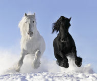 White and black horse. Run gallop Royalty Free Stock Image