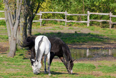 White and black horse Royalty Free Stock Photos