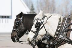 White and Black Horse Stock Photo