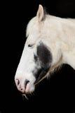 White & Black horse. Close up head shot of white & black horse eating hay with black background Royalty Free Stock Image