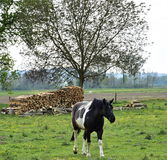 White and black horse coming to me royalty free stock photo