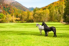 White and black horse on the green field. In Alps mountains, Austria Royalty Free Stock Photography
