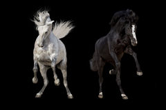 White and black horse run Royalty Free Stock Photography