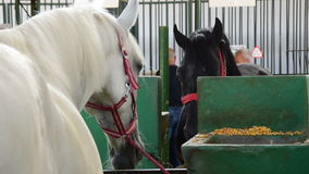 White and black horse versus one to another,two shots; Agricultural Fair in Novi Sad,Serbia, May 18, 2017. stock footage