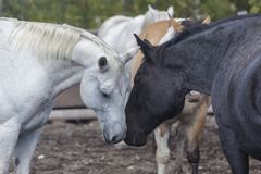 White and black horses nuzzling Royalty Free Stock Images