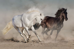 White and black horses. Run gallop in dust stock photography