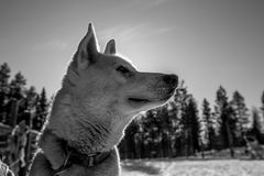 White and Black Husky Puppy Stock Photography