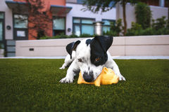 White and Black Jack Russell Terrier Biting Orange Rubber Pig Chew Toy Laying Down on Green Grass Lawn Stock Photos