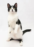 White with a black kitten standing on hind legs Stock Photography