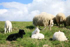 White and black lambs. Royalty Free Stock Photos
