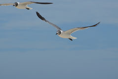 White and Black Laughing Gulls Flying in the Skies Royalty Free Stock Photos