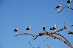 White and Black Long Beaked Birds on Brown Tree Branch Royalty Free Stock Photography