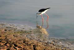 White and Black Long-beaked and Long Legged Bird on Body of Water Photography Stock Photos