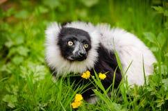 White and Black Long Coated Animal Stock Photo