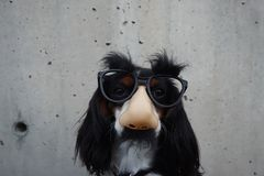White and Black Long Coated Dog Wearing Black Sunglasses Stock Photography
