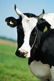 White black milch cow on green grass pasture Stock Image