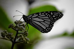 White and Black Monarch Butterfly on Green Plant Stock Photography