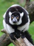 White and black monkey Stock Photography