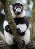 White and black monkey Royalty Free Stock Photography