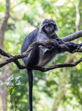 White-black monkey on a tree branch Royalty Free Stock Images