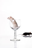 White and black mouse Royalty Free Stock Image