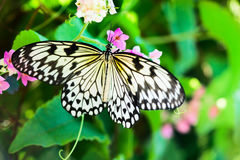 White and black Nimph butterfly on flowers Royalty Free Stock Image