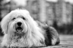 White Black Old English Sheepdog Royalty Free Stock Image