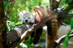 White Black and Orange Animal Sleeping on Tree Stem Royalty Free Stock Images