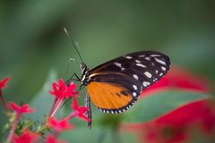 White and black orange butterfly in a garden on green background stock image
