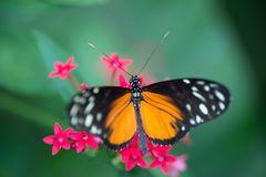 White and black orange butterfly in a garden on green background stock images