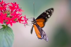 White and black orange butterfly on a red flower a stock photography