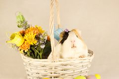 Guinea Pig Happy Easter with Eggs. White, Black and Orange Guinea Pig Happy Easter with Eggs in the Basket Royalty Free Stock Images