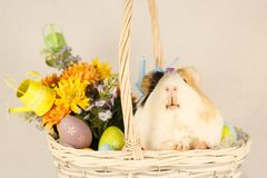 Guinea Pig Happy Easter with Eggs. White, Black and Orange Guinea Pig Happy Easter with Eggs in the Basket Royalty Free Stock Photos