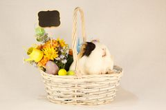 Guinea Pig Happy Easter with Eggs. White, Black and Orange Guinea Pig Happy Easter with Eggs in the Basket Royalty Free Stock Photography