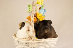 Guinea Pigs Happy Easter with Eggs stock photo