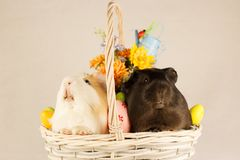 Guinea Pigs Happy Easter with Eggs stock photography